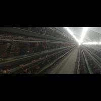 海兰蛋鸡2