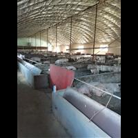 育肥豬養殖