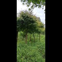 湖南鸡爪槭