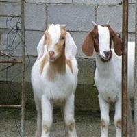 杜寒杂交羊