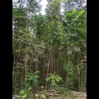 武汉5公分红香椿树种植基地