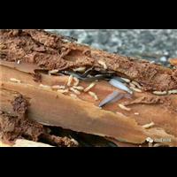 柳州白蚁消杀