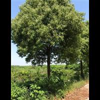 香樟树销售低价批发