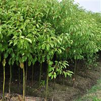 湖南香樟树种植基地批发