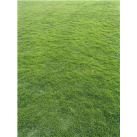 江西草坪基地批发价格