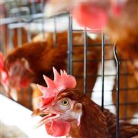 专业蛋鸡养殖