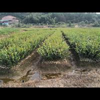 贵州油茶苗2020批发价