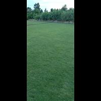 广东清远大叶油草种植基地