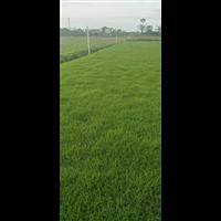 广东夏威夷草种植技术