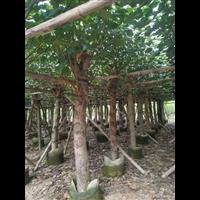 揭阳大量供应15公分假植黄槿