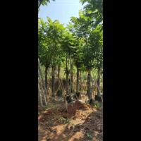揭阳本地火焰木树苗高1米移栽树工程绿化行道树