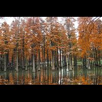 九江哪里有池杉批发