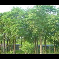 九江哪里有黄连木批发