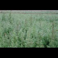 湖北恩施造林用柏木苗批发基地