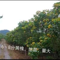 广西崇左龙州6公分黄槐批发基地
