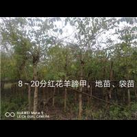 广西崇左龙州10公分红花羊蹄甲批发基地