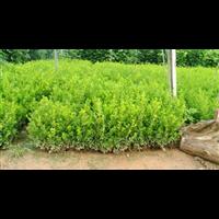 江苏宿迁沭阳小叶黄杨种植批发价格
