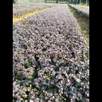 广西桂林红继木扦插苗批发基地价格