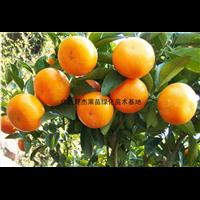 广西桂林茂谷柑苗批发基地价格