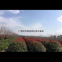 广西桂林红叶石楠批发基地价格