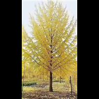 山东临沂郯城15公分银杏树批发基地价格300元
