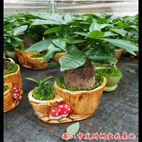 广东湛江发财树小盆栽批发基地价格