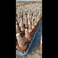 广东广州哪里有发财树头卖