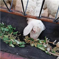 专业养殖羊