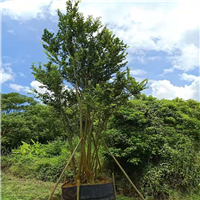 广东朴树种植
