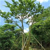 广东朴树价格a阳春朴树
