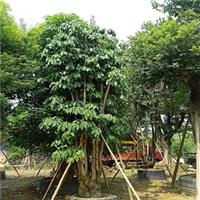 广东假苹婆种植