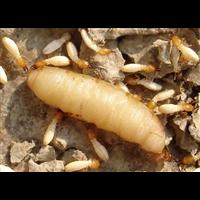 汕尾灭白蚁要注意白蚁的几个传播途径