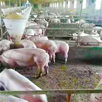 新鮮豬肉專業養殖