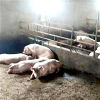專業養殖豬生態養殖