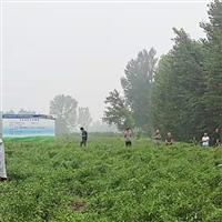 专业种植赤焰辣椒生态自然健康营养