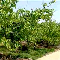 现采摘爆甜农家种植无农药绿色梨子