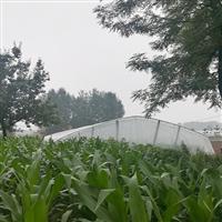 專業種植玉米純天然健康