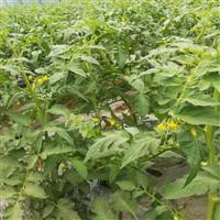 專業種植西紅柿農產品健康