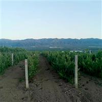 新鮮無籽包多汁專業種植生態葡萄