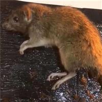 蘇州滅老鼠