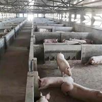实惠健康放心好猪肉农家养殖