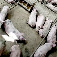 养殖猪肉猪健康肉肥