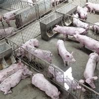 肉猪养殖生态健康绿色