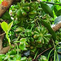 广西大红八角树苗嫁接幼苗罗马木王品种