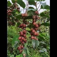 湖北软枣猕猴桃