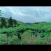 浙江软枣猕猴桃