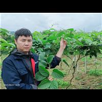 云南软枣猕猴桃