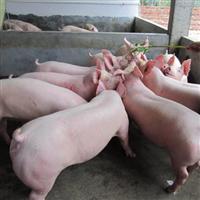 农家自养生态肉猪放心营养