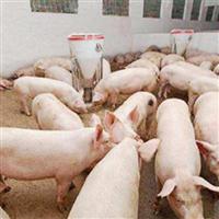 健康营养放心猪