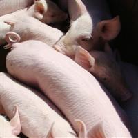 农家自家养殖生态猪肉猪